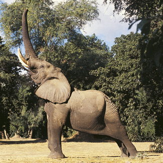 Elephants are known for getting drunk in the wild by consuming fermented Marula fruit.