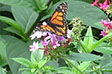 Sobriety Home Launches Program to Help Save Endangered Butterfly Symbol of Metamorphosis